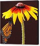 Dangling Monarch Canvas Print