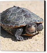Diamondback Terrapin Turtle Canvas Print by Diane Rada