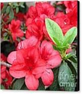Divine Scarlet Azalea Canvas Print