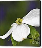 Dogwood Blossom - D001797 Canvas Print