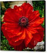 Double Poppy Canvas Print
