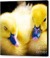 Downy Ducklings Canvas Print