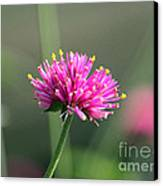 Dreaming In Fuschia II Canvas Print by Suzanne Gaff