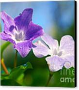Drops On Violets Canvas Print by Carlos Caetano