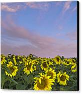 Early Morning Sunflowers Canvas Print by Thomas Pettengill