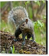 Eastern Gray Squirrel Canvas Print by Linda Freshwaters Arndt