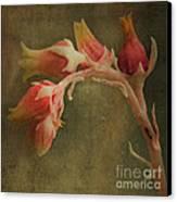 Echervia Blossom Canvas Print by Pam Vick