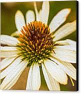 Echinacea Fading Beauty Canvas Print by Omaste Witkowski