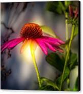 Echinacea Sunrise Canvas Print