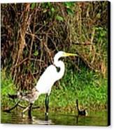 Egret And Ducks Canvas Print by Will Boutin Photos