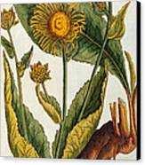 Elecampane Canvas Print by Elizabeth Blackwell