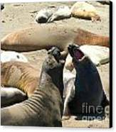 Elephant Seal Birthing Grounds Two Elephant Seal Bulls Fighting Canvas Print by Artist and Photographer Laura Wrede