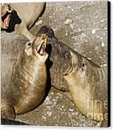 Elephant Seal Confrontation Canvas Print by James L. Amos