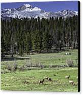 Elk Cows In Beaver Meadows Canvas Print by Tom Wilbert