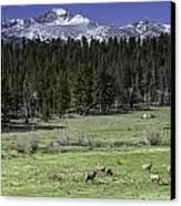 Elk In Meadow Canvas Print by Tom Wilbert