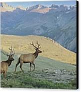 Elk Surprise.. Canvas Print