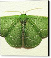 Emerald Moth Canvas Print by Walter Klockers