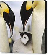 Emperor Penguin Parents With Chick Canvas Print