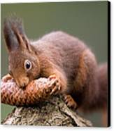 Eurasian Red Squirrel Biting Cone Canvas Print by Ingo Arndt