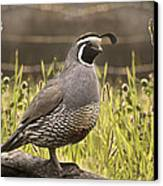 Evening Quail Canvas Print by Melisa Meyers