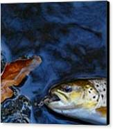 Fall Brown Trout Canvas Print by Thomas Young