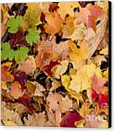 Fall Maples Canvas Print by Steven Ralser