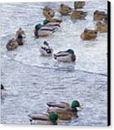 February  And Cold Ducks Canvas Print by Rosemarie E Seppala