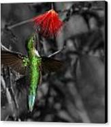 Female Anna's Hummingbird Canvas Print by Old Pueblo Photography