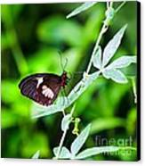 Female Pink Cattleheart Butterfly Canvas Print by Jane Rix