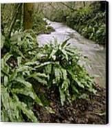 Ferns (asplenium Scolopendrium) Canvas Print
