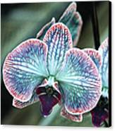 Festive Orchid Canvas Print by William Dey