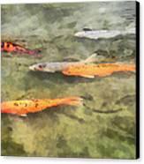 Fish - School Of Koi Canvas Print by Susan Savad