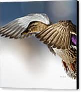 Flight Of The Mallard Canvas Print by Bob Orsillo