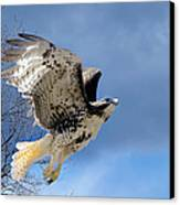 Flight Of The Red Tail Canvas Print by Bill Wakeley