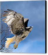 Flight Of The Red Tail Square Canvas Print by Bill Wakeley