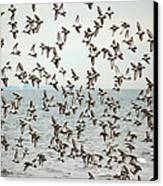 Flock Of Dunlin Canvas Print by Karol Livote