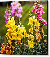 Flower - Antirrhinum - Grace Canvas Print by Mike Savad