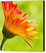 Flower In The Sunshine - Orange Green Canvas Print by Natalie Kinnear