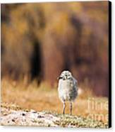 Fluffball Watching Canvas Print by Anne Gilbert