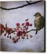 Fluffy Sparrow  Canvas Print by Barbara Orenya