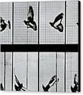 Flying Bird Canvas Print by Eadweard Muybridge