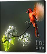 Flying Cardinal Landing On Branch Canvas Print