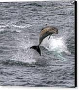 Flying Dolphin Canvas Print by David Yack