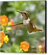 Flying Scintillant Hummingbird Canvas Print