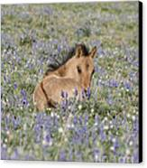 Foal In The Lupine Canvas Print by Carol Walker