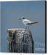 Forster's Tern Canvas Print