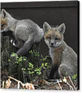 Fox Kit Siblings Canvas Print by RJ Martens