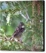 Fox Sparrow Juvenile Canvas Print by Chris Heitstuman
