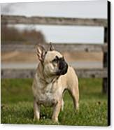 French Bulldog Canvas Print by Paulina Szajek