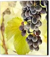 Fresh Ripe Grapes Canvas Print by Mythja  Photography